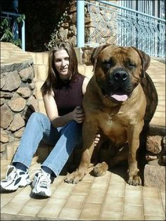 We are thinking of getting a Boerboel puppy next! This is a Boerboel full grown Huge Dogs, Giant Dogs, I Love Dogs, Bullmastiff, Funny Dogs, Funny Animals, Cute Animals, Panda Funny, Funny Dog Pictures