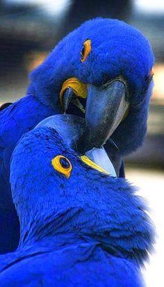Pretty Birds, Love Birds, Beautiful Birds, Animals Beautiful, Stunningly Beautiful, Beautiful Things, Exotic Birds, Colorful Birds, Exotic Animals