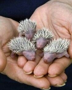 Four baby hedgehogs, no older than 24 hours, held in hand at the Gower Bird Hospital, South Wales, UK. Gower Bird Hospital cares for injured and orphaned birds and small mammals until they're ready to be returned to the wild. Cute Baby Animals, Animals And Pets, Funny Animals, Beautiful Creatures, Animals Beautiful, Beautiful Babies, Cute Hedgehog, Tier Fotos, My Animal
