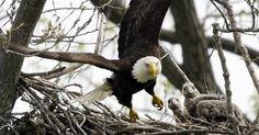 Baby Bald Eagle, Eagle Cam, Cats Outside, Lake Park, Photos Of The Week, Predator, Cool Photos, Interesting Photos, Birds