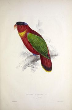 Illustrations of the family of Psittacidœ, or parrots :Edward Lear, 1832  -   - Biodiversity Heritage Library