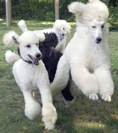 standard poodles   Miniature, Standard, and Giant Poodles