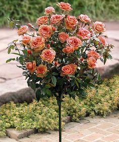 Look at this #zulilyfind! Apricot Spice Rose Tree by Seedling & Sprout  #zulilyfinds