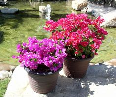 Growing Bougainvillea, bougainvillea care, Bougainvillea cutting, How to grow Bougainvillea in pots. Bougainvillea flowering shrubs plants are a climber. Tropical Flowers, Indoor Flowers, Flower Planters, Tropical Garden, Summer Garden, Tropical Plants, Planting Shrubs, Flowering Shrubs, Planting Flowers