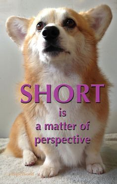 """SHORT is a matter of perspective."" Cute Pembroke Welsh Corgi Hummer takes a stand. ©CorgieWorld"