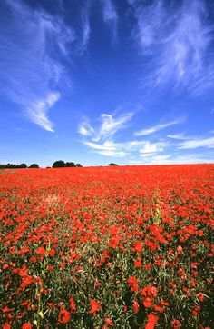 Lovely field of poppies and blue sky between methwold and whittington in Norfolk
