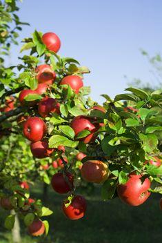 Tips for Planting Fruit Trees