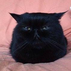 Flat cat.