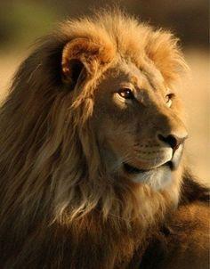 """Schéma broderie """"Lion"""" - Plans auteur «WolfBride» - Point de Croix"""