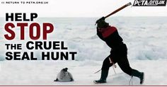 The Canadian seal cull....