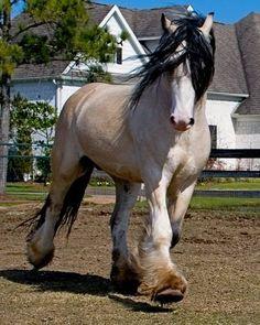 Draft horses -Taskin is a Buttermilk Buckskin Gypsy Vanner ...