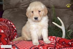 Golden Retriever Puppy for Sale in Ohio  http://www.buckeyepuppies.com/puppy-for-sale/golden-retriever/calico