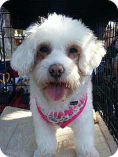 Lucy was rescued with a broken femur and pelvis. She had surgery to repair her femur fracture. She is approx. a year and a half years of age. She is very sweet and loving. She loves to play and entertains herself with tossing toys and running and jumping in the yard. Lucy needs more socialization to be around new people. She is very dog friendly. Lucy is up to date on shots and spayed. She is crate and leash trained. Best in a home with children over 12 years of age.