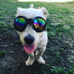 Tongue out and wearin' #doggles #dog #doggy #dogs
