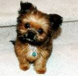 Image detail for -Photobucket | chorkie Pictures, chorkie Images, chorkie Photos