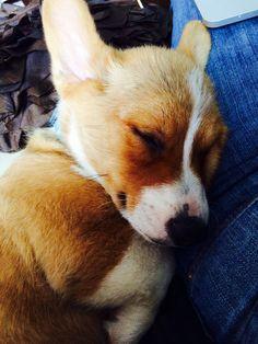 Shhh... Corgi asleep.