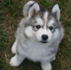 Husky dog!