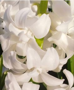 Dark Plum Flowers, Peach Flowers, All Flowers, Fresh Flowers, White Flowers, White Hyacinth, Hyacinth Flowers, Purple Calla Lilies, Calla Lily