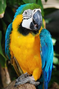 Guacamaya or Macaw