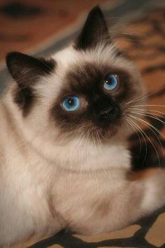 I love siamese cats...