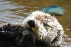 Napping sea otter