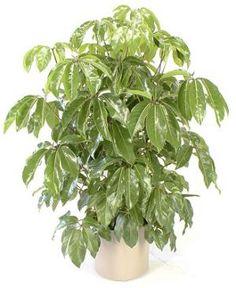 12 Tropical Plants Ideal for Growing Indoors: Schefflera