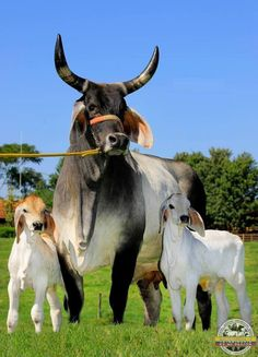 We help you to start cow farming on your own milk logo Animals With Horns, Big Animals, Farm Animals, Animals And Pets, Funny Animals, Cattle Farming, Livestock, Cow Pictures, Cow Photos