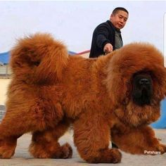Dogs - I found Clifford the Big Red Dog Music IndieArtist Chicago Really Big Dogs, Huge Dogs, Giant Dogs, Tibetan Mastiff Dog, Mastiff Dogs, Cute Dogs And Puppies, Baby Dogs, Puggle Puppies, Maltese Dogs