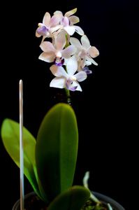 Phalaenopsis (mini) Flora Lilac