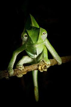 Chameleon by Michael Schwarz うわっカメラ目線。。。