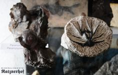 Ammonites in our private collection at Mineralienhotel Natznerhof -- the only mineral hotel in the world.