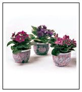 tiny african violets #flowers #miniatures