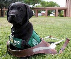 And this guide-dog puppy who can't wait for the day he grows into his grown-up dog harness.