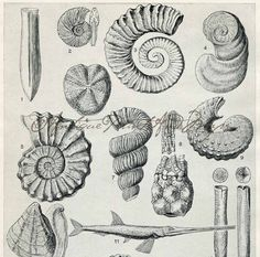 Ammonites Fossils Neocmite Bostrychoceras Prehistoric Fish Shells From a 1930s Encyclopedia Color Lithograph Print
