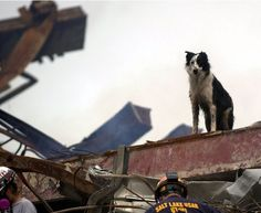 """""""Cowboy"""", a FEMA-certified Border Collie, is one of over 350 devoted dogs who lent their superhuman senses to the search and rescue operations. (Photo: Sep 21, 2001, AP / Alan Diaz) ❤"""