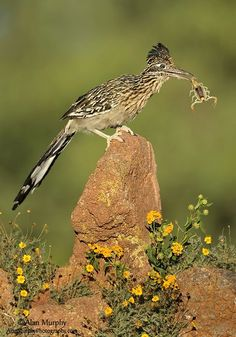 Greater Roadrunner By Alan Murphy - the other thing the cartoon ...