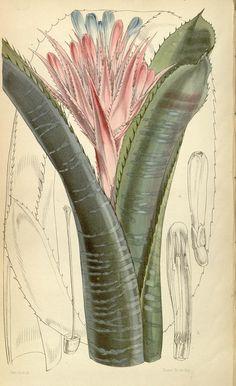 v.81=ser.3:v.11 (1855) [no.4825-4890] - Curtis's botanical magazine. - Biodiversity Heritage Library