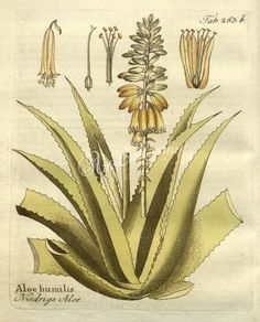 aloe humilis - high resolution image from old book.Size in pixels: Aloe, Rooster, Plants, Animals, Image, Animales, Animaux, Flora, Plant