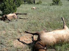 grenz wissenschaft-aktuell: Mysteriöser Tod einer ganzen Elchherde - bis zu 120 Tiere - in New Mexico   http://grenzwissenschaft-aktuell.blogspot.de/2013/09/mysterioser-tod-einer-ganze-elchherde.html