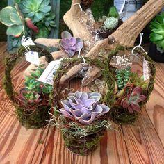 Succulent Easter baskets at The Flora Shop at Ivy Lane!