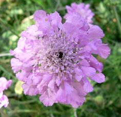 Scabiosa - there are both annual and perennial types of scabiosa