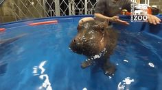 Cute overload! Fiona the baby hippo plays in water while handlers supervise at the Cincinnati Zoo.