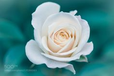 White Rose by L_th. @go4fotos