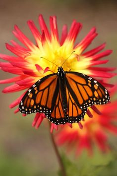 monarch...they are becoming so few b/c of mankind.  stunning beauty.