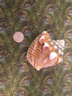 Seashells Solo Shell Caribbean Sea Shells Beach Wedding Decor Authentic Nautical Medium Seashell Conch