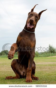 Doberman If knew the puppy I picked would turn out like this I would buy one tomorrow