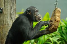 Taronga Zoo's Chimpanzees Move To New Home