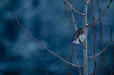Northern Pygmy Owl - Steven Gnam - Art for Conservation