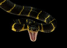 Photo Mangrove snake by Henrik Vind on 500px