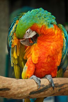 'Harlequin macaw' a cross of Blue & Gold & a Greenwinged macaws.